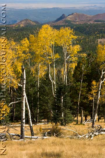 Aspens on Rabbit Ridge