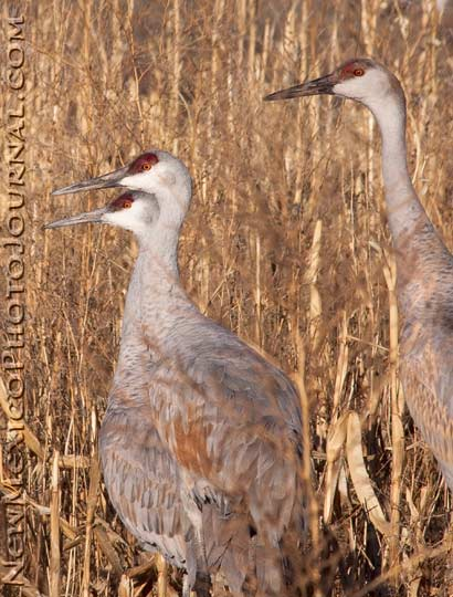 three sandhill cranes
