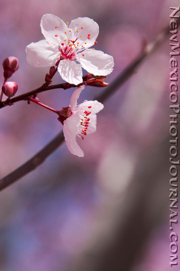 closeup of purple plum tree blossoms