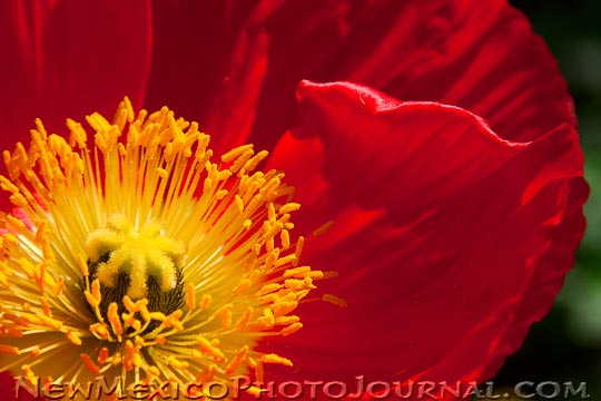 red and yellow poppy