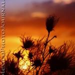 Apache Plume at Sunset