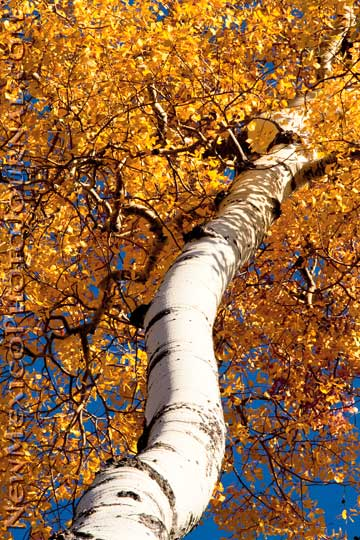 Aspen tree with fall colors