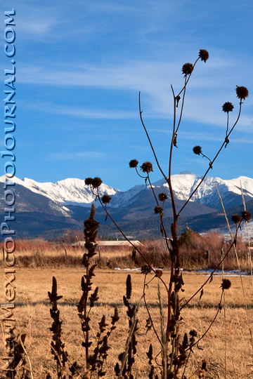dried sunflowers are silhouetted against the snow-covered mountains of northern New Mexico