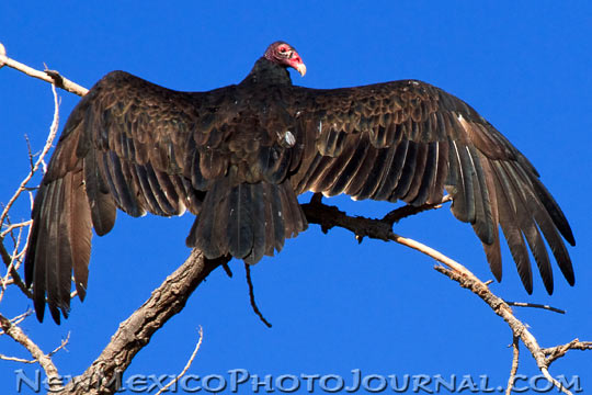 turkey vulture sitting high in a tree, sunning itself