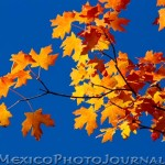 Manzano Maple Leaves