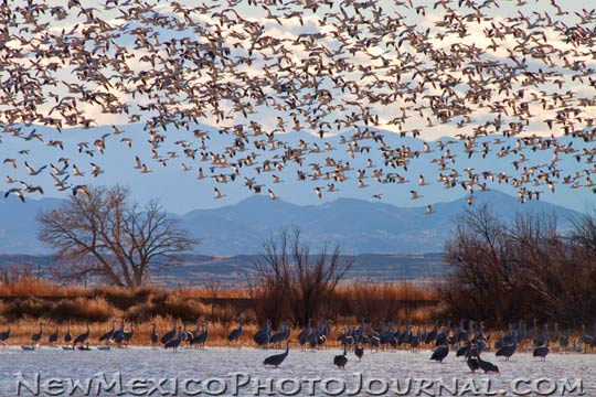 a snow geese flyover at the Ladd S. Gordon Waterfowl Area