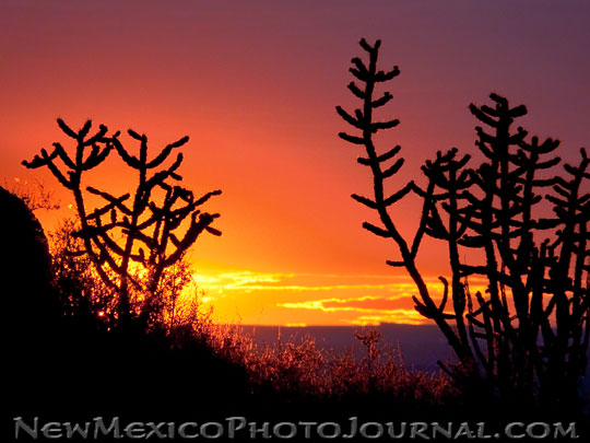two walking stick cholla cactuses are silhouetted by the setting sun
