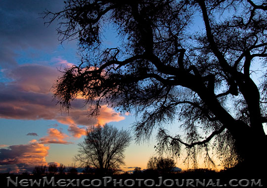 A colorful sunset silhouettes a large cottonwood tree