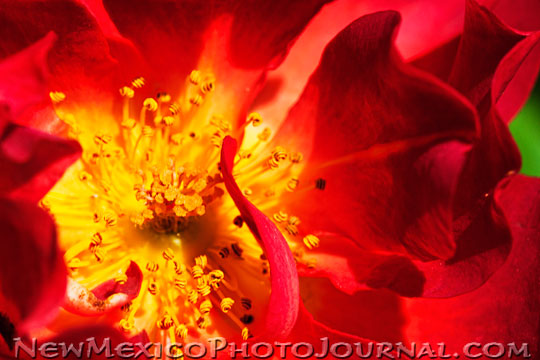 Red Rose with Yellow Center