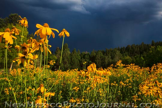 A field of yellow coneflowers against a brooding gray sky