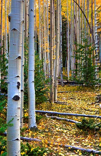 Aspens in the Sangre de Cristo Mountains