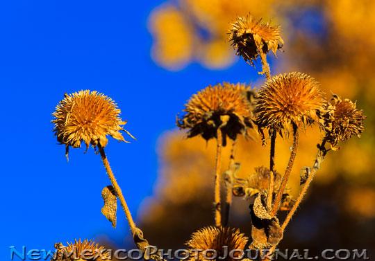 Dried Sunflowers