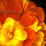 Chihuly Rose