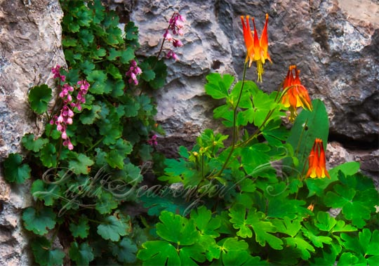 A garden growing out of limestone high in the Sandias includes tiny pink flowers and scarlet columbines