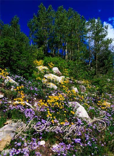 Wildflowers at 10,000 feet in the Sandias