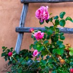 Ladder and Roses