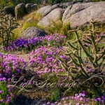 Sandia Foothills Wildflowers