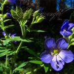 Wildflowers: Jacob's Ladder
