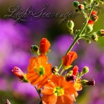 Wildflowers: Globemallow