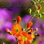 Wildflowers: Globemallow
