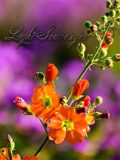 Globemallow, an orange wildflower, with a background of pink-purple verbena