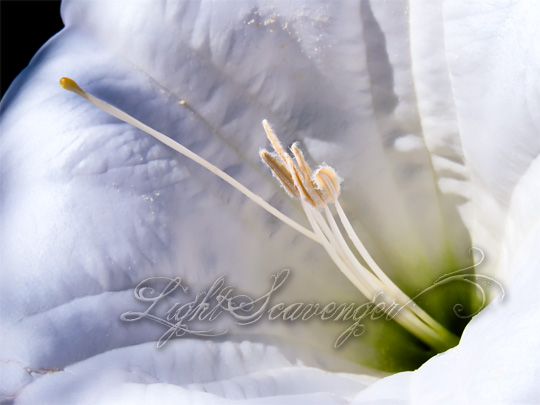 A datura blossom, up close and personal