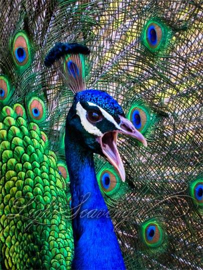 Talking Peacock