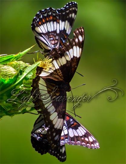 Wiedemeyer's Admiral Butterflies