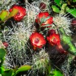 Claret Cup Cactus and Hummingbird
