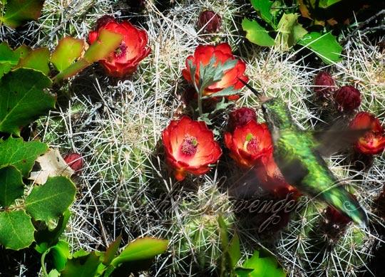 Claret Cup Cactus and Hummingbird