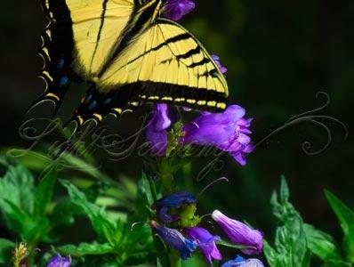 Two-Tailed Swallowtail on purple penstemon