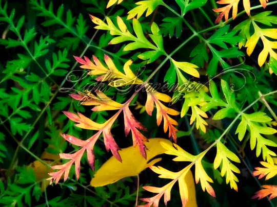 Osha leaves changing color