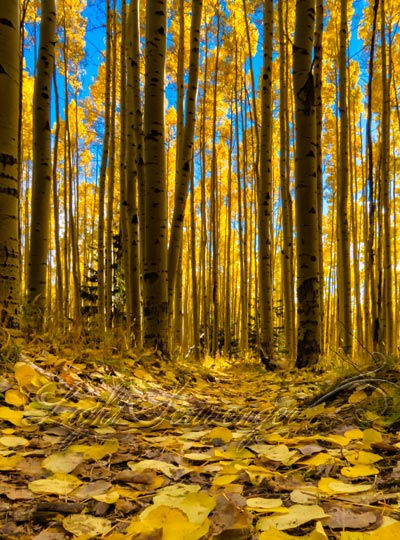 leaf-strewn trail in Sangre de Cristos
