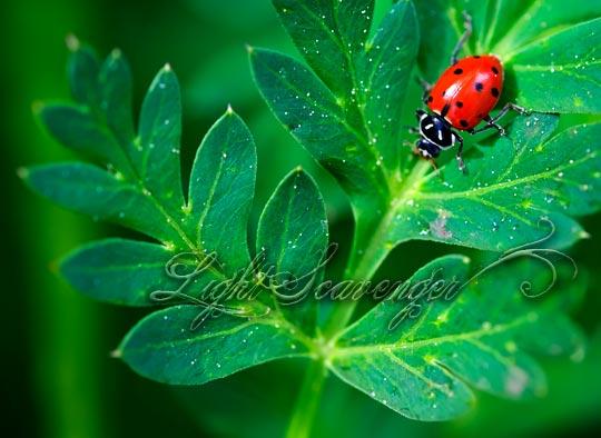 Ladybug on Osha