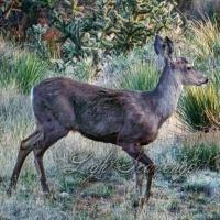 Mule Deer at Dusk