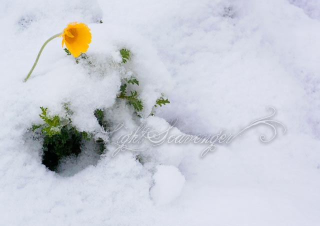 Desert Marigold and Snow