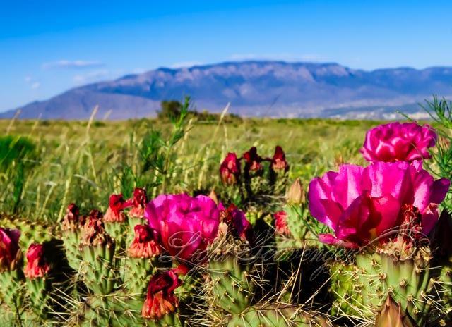 Prickly Pear Blossoms and the Sandias