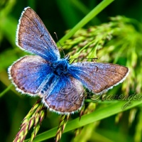 Greenish Blue Butterfly