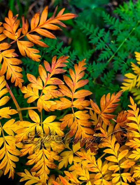 Osha Leaves, Late Summer