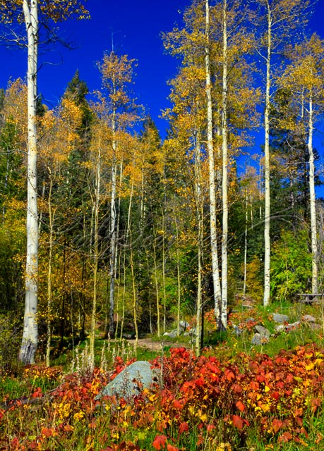 Big Tesuque: Aspen and Thimbleberry Leaves