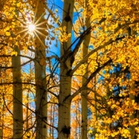 Aspens: Light and Shadow