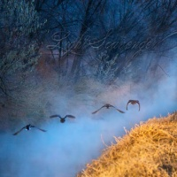 Fog and Ducks