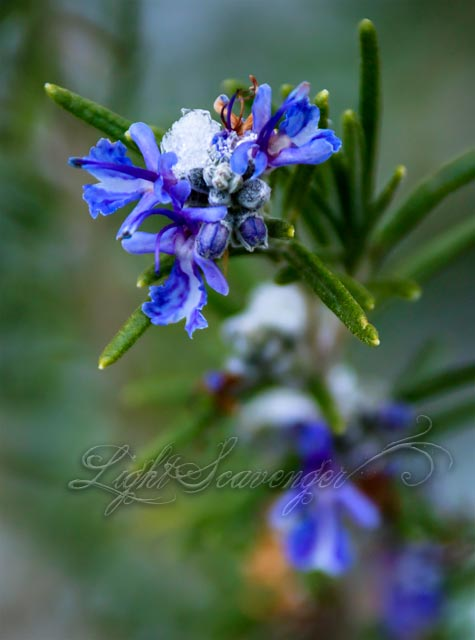 Rosemary Flowers with Snow