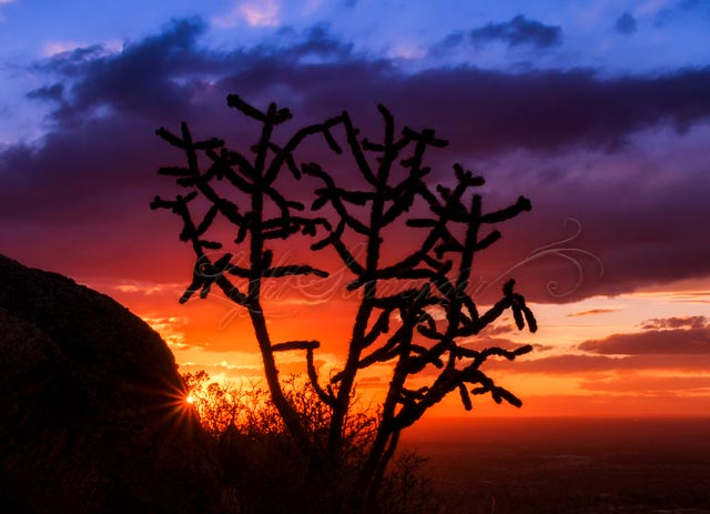 Cholla Silhouette at Sunset