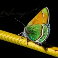 Sandia Hairstreak, 2018 Edition