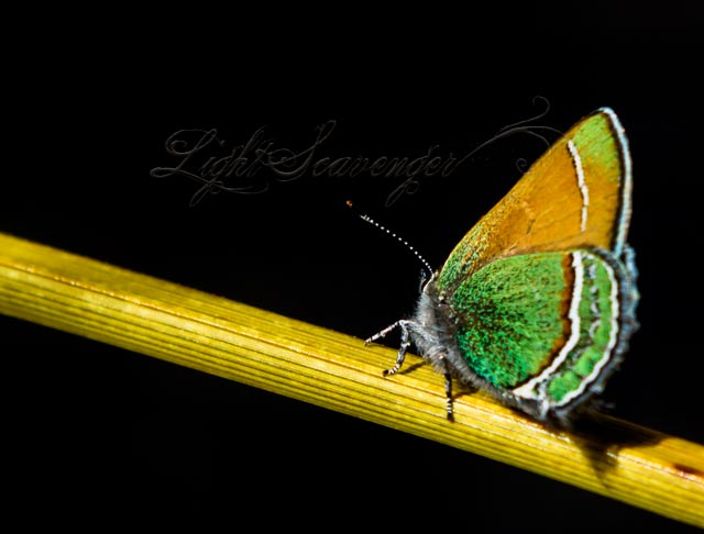 Sandia Hairstreak