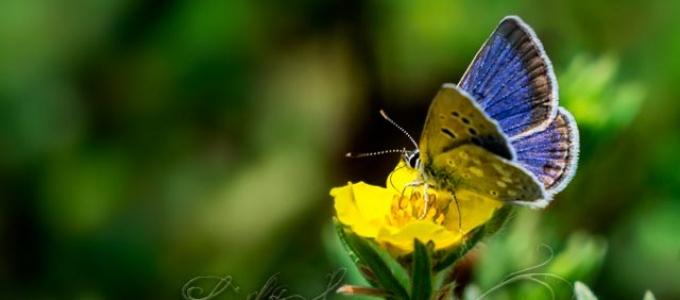 A Boisduval's Blue butterfly (I think)