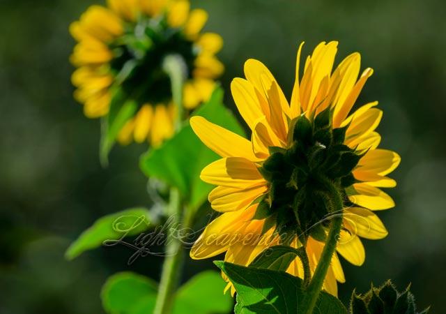 Sunflowers in the Sandias