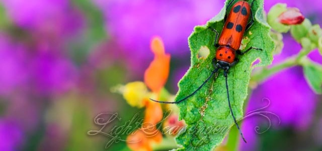 Milkweed Beetle on Globemallow Leaf