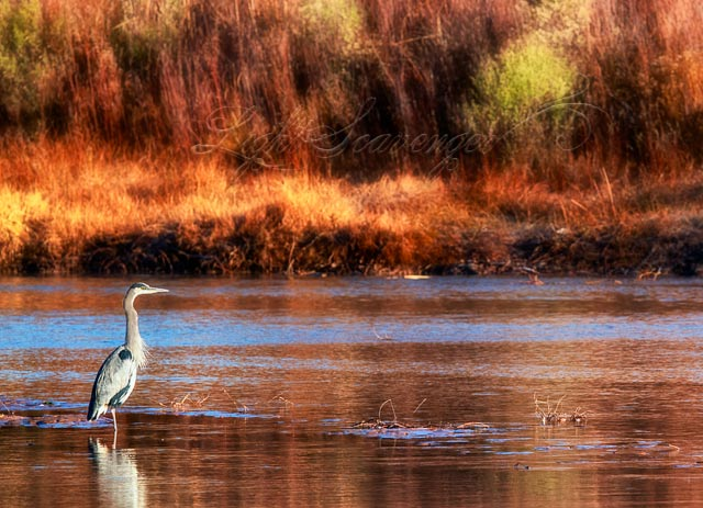 Heron in the Rio Grande